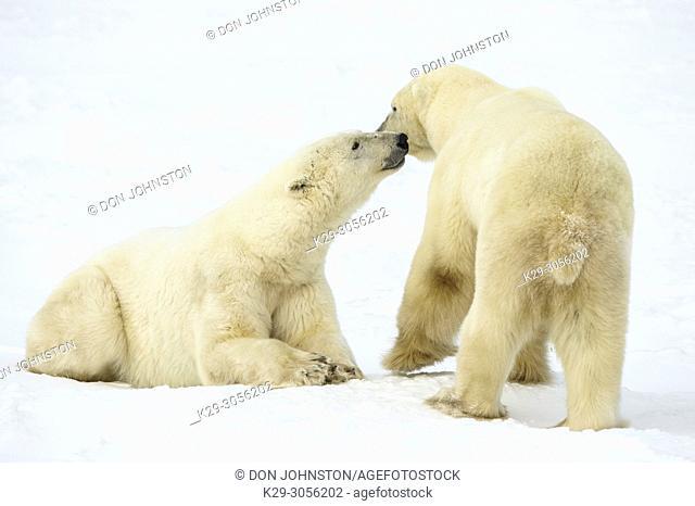 Polar Bear (Ursus maritimus) Sparring pair, Wapusk NP, Cape Churchill, Manitoba, Canada