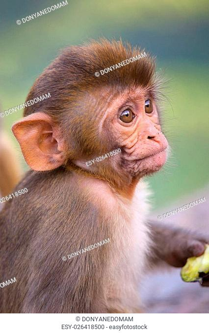 Portrait of Rhesus macaque (Macaca mulatta) in Galta Temple in Jaipur, India. The temple is famous for large troop of monkeys who live here