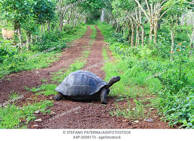 Giant Tortoise, El Chato Reserve, Santa Cruz Island, Galapagos Islands, Ecuador