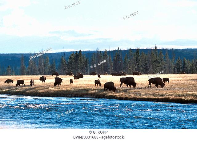 American bison, buffalo (Bison bison), grazing herd at the river, USA, Wyoming, Yellowstone National Park