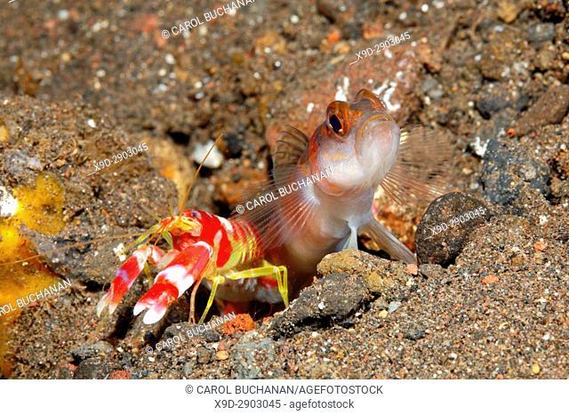 Flagtail Shrimpgoby, Amblyeleotris yanoi with alpheid shrimp, Alpheus randalli. Tulamben, Bali, Indonesia. Bali Sea, Indian Ocean