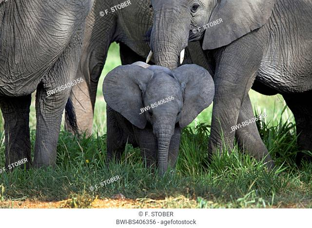 African elephant (Loxodonta africana), baby elephant in the herd, South Africa