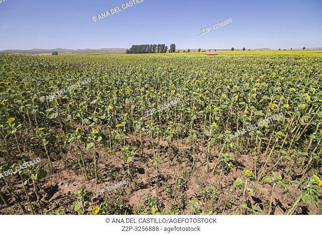 Sunflower plantation Teruel province Spain