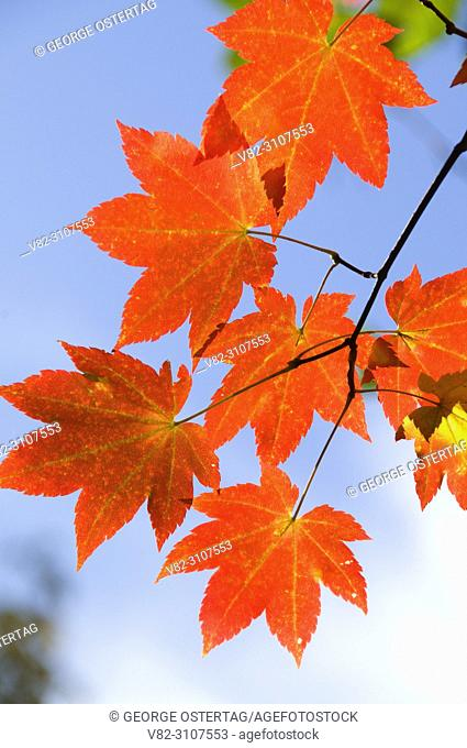 Vine maple (Acer circinatum) in autumn, McKenzie Wild and Scenic River, McKenzie Pass-Santiam Pass National Scenic Byway, Willamette National Forest, Oregon