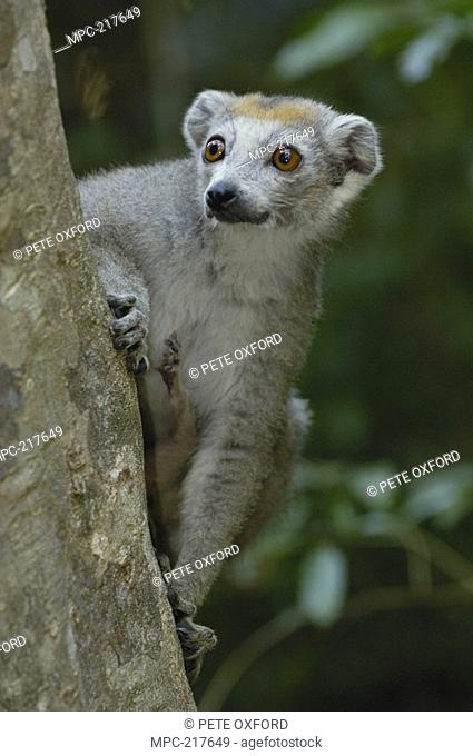 Crowned Lemur Eulemur coronatus, female portrait, vulnerable species, Ankarana Special Reserve, northern Madagascar