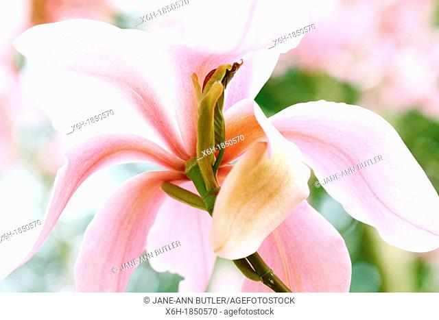 wonderful fully open pink magnolia bloom, sensual and flowing