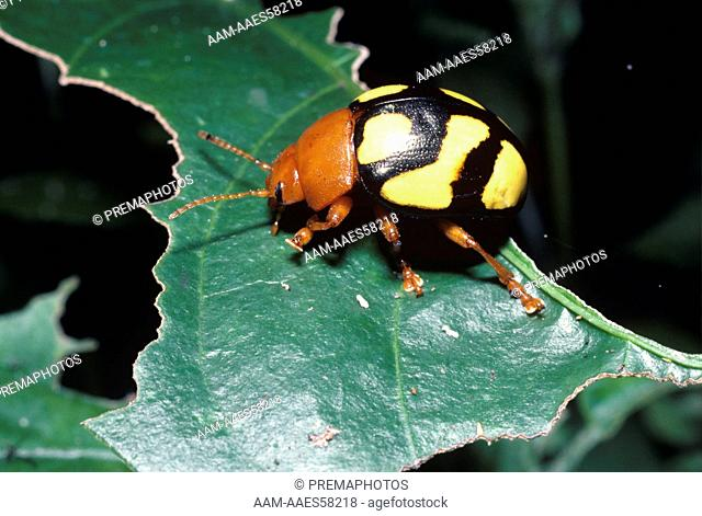 Leaf Beetle Warning Coloration (Doryphora testudo) Rainforest, Peru