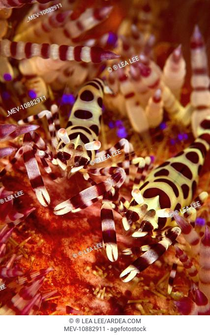 Coleman Shrimp - on Sea Urchin (Periclimenes colemani). Indonesia