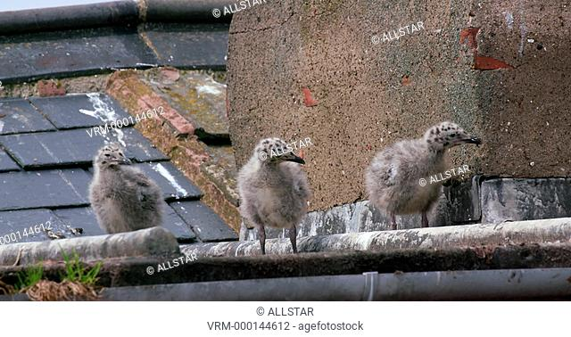 BABY EUROPEAN HERRING GULL CHICKS; SCARBOROUGH ROOFTOP; 21/06/2016