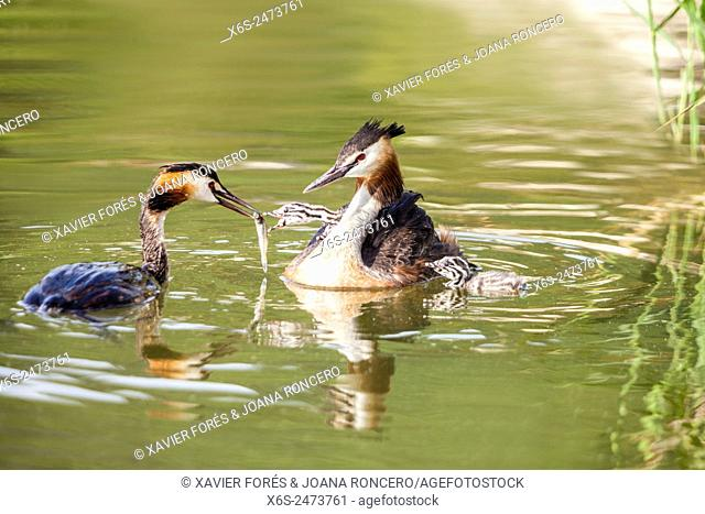 Great Crested Grebe -Podiceps cristatus- in the Lac du Bourget, Savoie, Rhône-Alpes, Francia