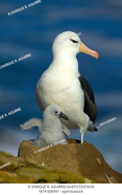 Black-browed albatros (Diomedea melanophris). Falkland Islands, South Atlantic