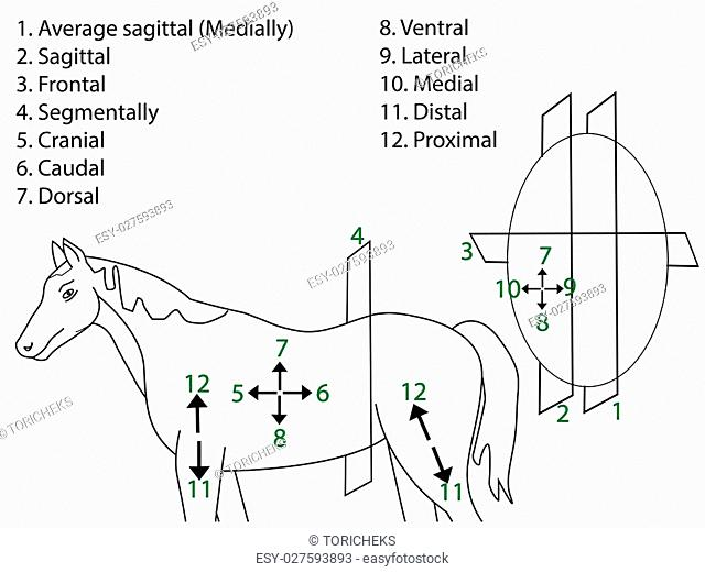 Anatomical Terms of Direction and Planes of Section. Medical poster vector illustration. Somatic system. Anatomical atlas