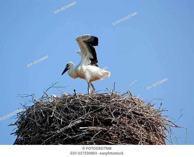 The white stork young baby birds costs in a big nest from rods
