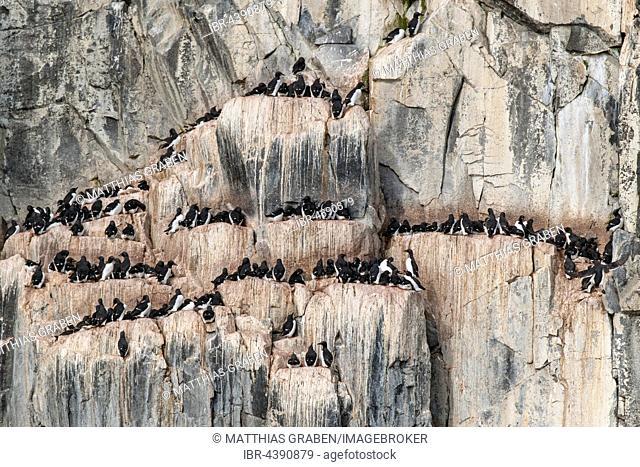 Common murres (Uria aalge) at the bird cliffs Alkefjellet, Svalbard, Spitsbergen, Norway