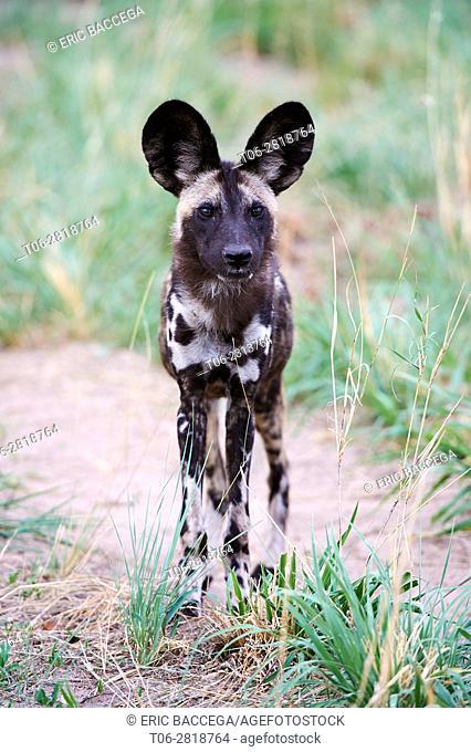 African wild dog portrait (Lycaon pictus) Hwange National Park, Zimbabwe