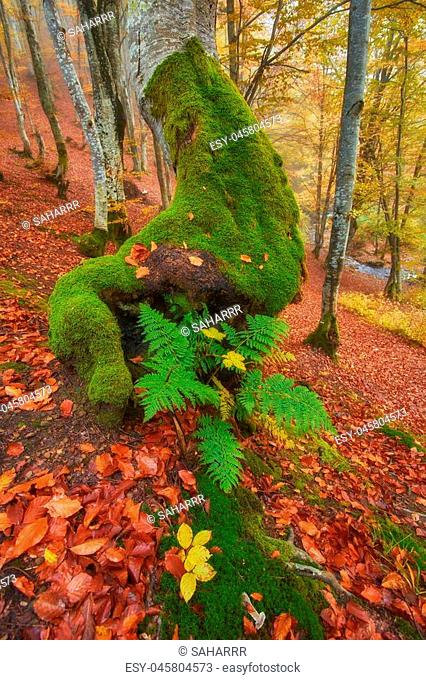 High in the mountains of the Carpathians and the Hutsul located tract with ancient forest, where the ancient giants meet in the wild forest autumn