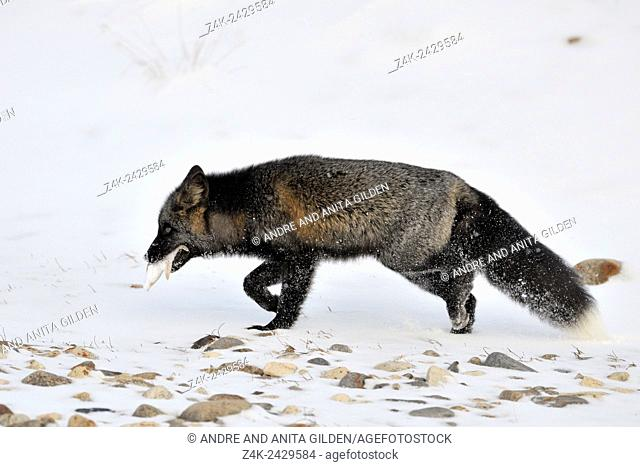 Red fox (Vulpes vulpes) with melanism, the so called Silver fox walking in the snow, with a Starfish in his mouth, Churchill, Manitoba, Canada
