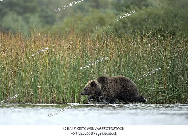 European Brown Bear ( Ursus arctos ) walks along a reed belt through shallow water.