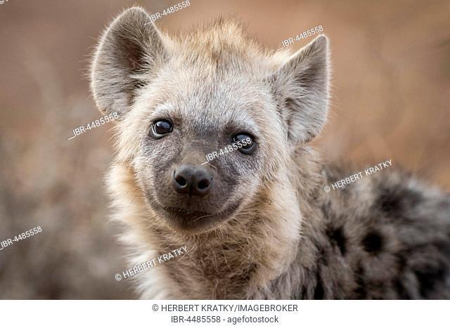 Spotted hyena (Crocuta crocuta), Portrait, Kruger National Park, Republic of South Africa