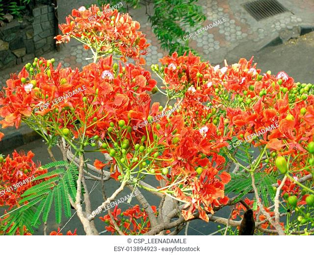 Flamboyant Flame Tree-eleven