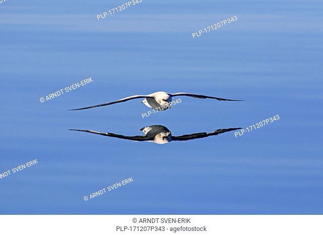 Northern fulmar / Arctic fulmar (Fulmarus glacialis) in flight soaring over the sea