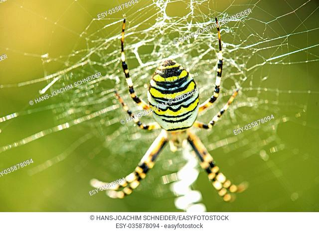 wasp spider in its web in Germany