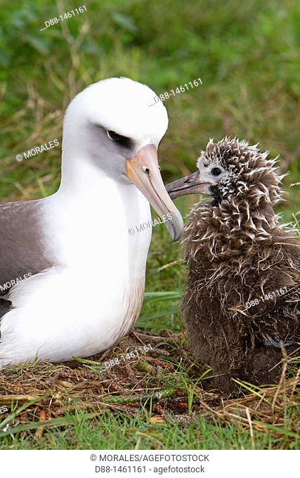 Laysan Albatross (Phoebastria immutabilis), adult with young, Eastern Island, Midway Atoll National Wildlife Refuge, Hawaii, USA