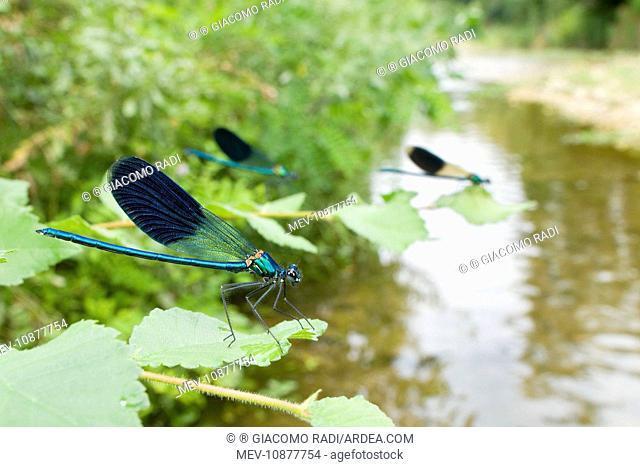 Banded Demoiselle - males in their habitat (Calopteryx splendens)