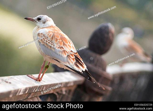A beautiful light brown juvenile gull is sitting on a fence