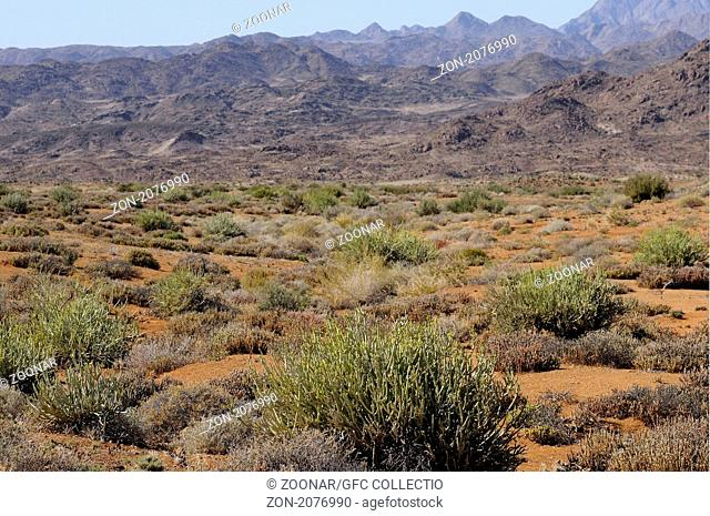 Habitataufnahme sukkulenter Vegetation in einer weiten Ebene, Richtersveld Nationalpark, Südafrika / Habitat shot of succulent plants in a vast plaine