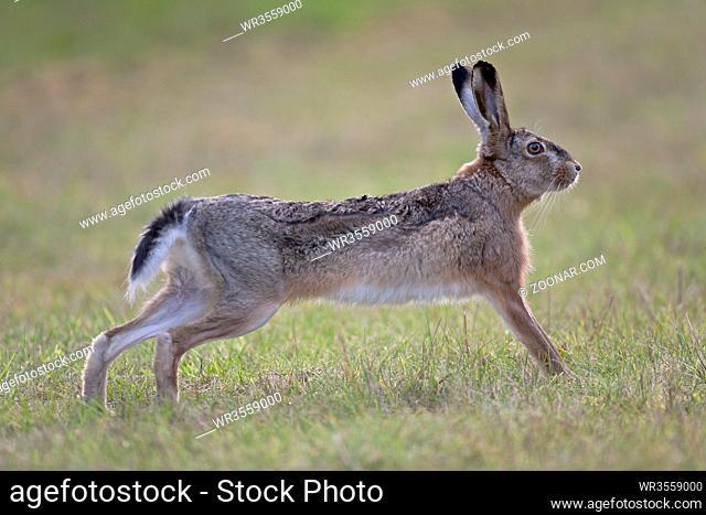 Feldhase wurde von der Schutzgemeinschaft Deutsches Wild im Jahr 2015 zum TIER DES JAHRES erklaert - (Foto Feldhase streckt sich) / European Hare was first...