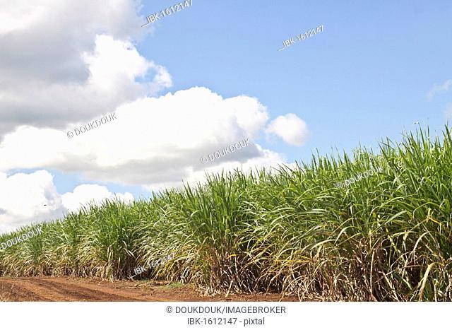 Sugarcane plants in Mauritius, Africa