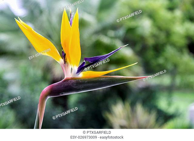 Strelitzia reginae is a monocotyledonous flowering plant indigenous to South Africa. Most common names are Crane Flower or Bird of Paradise