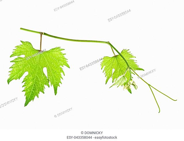 Grape leaves on branch isolated on a white background