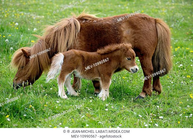 Shetland Pony mother and foal