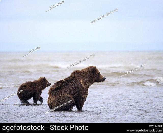 Coastal brown bear, also known as Grizzly Bear (Ursus Arctos) female and cub. Cook Inlet. South Central Alaska. United States of America (USA)