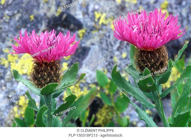 Singleflower knapweed (Centaurea uniflora) in flower