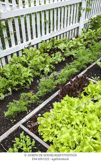 Multiple varieties of lettuce and salad greens growing in a fenced in vegetable garden