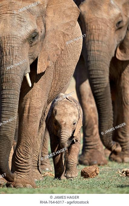 African Elephant (Loxodonta africana) mother and young, Addo Elephant National Park, South Africa, Africa