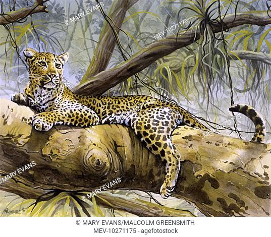 A male Leopard (Panthera pardus) sitting in the substantial lower branches of a tree in sub-Saharan Africa. Painting by Malcolm Greensmith