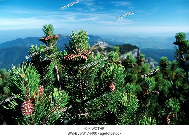 mountain pine, mugo pine Pinus mugo, in mountain scenery, Germany, Alps