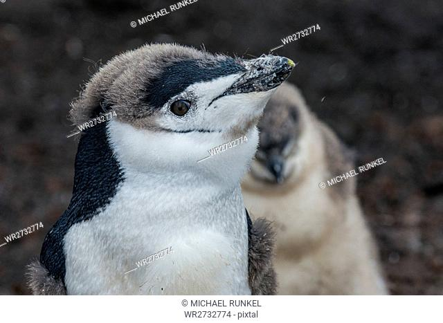 Chinstrap penguin chick (Pygoscelis antarctica) on a black volcanic beach, Saunders Island, South Sandwich Islands, Antarctica, Polar Regions