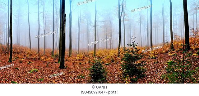 Panoramic view of misty forest in autumn, near Frankfurt, Germany