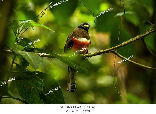 'Trogon collaris' ( Collard Trogon), Monteverde National Park, Costa Rica