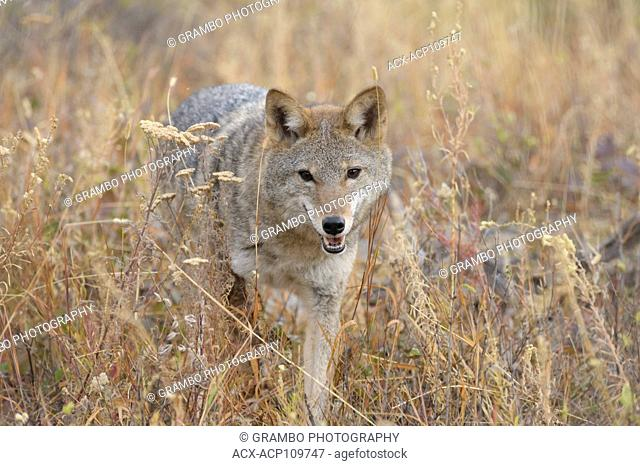 Coyote, Canis latrans, on foothills slope in autumn, Montana, USA