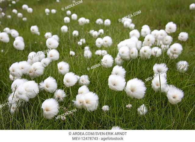 Broad-leaved Cotton-grass - with seed heads in