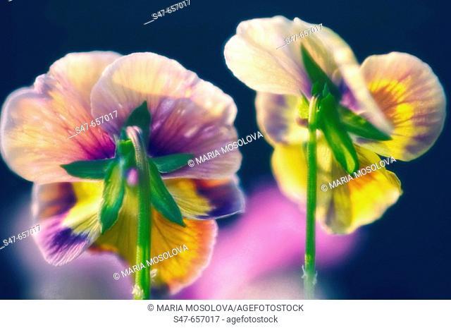 Two Pansy Flowers. Viola x wittrockiana. June 2006, Maryland, USA