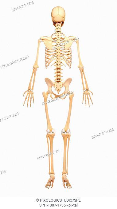 Human skeleton, computer artwork