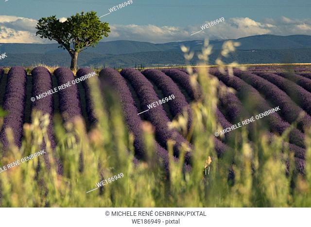 Lavender fields on Valensole Plain of Provence region of Southern France