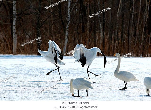 Japanese crane, Red-crowned crane (Grus japonensis), Dancing, Japan